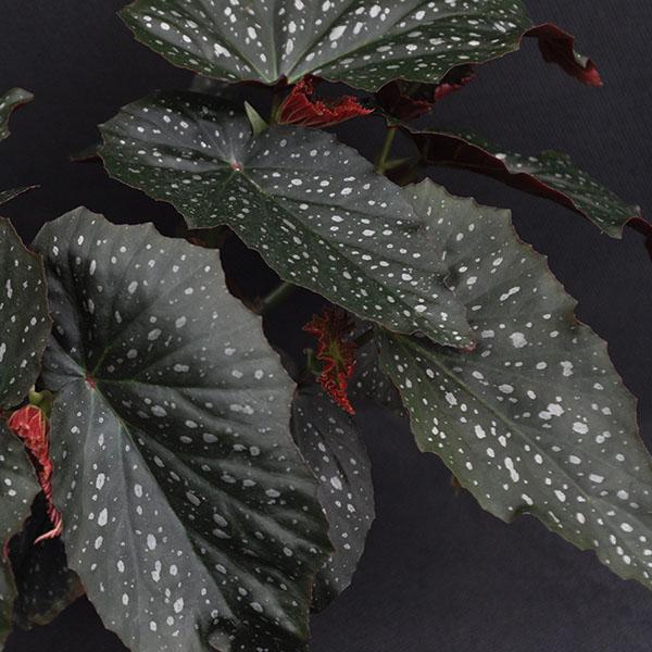 Begonia Dream Lover Steve S Leaves Begonia Pretty Plants Plant Goals