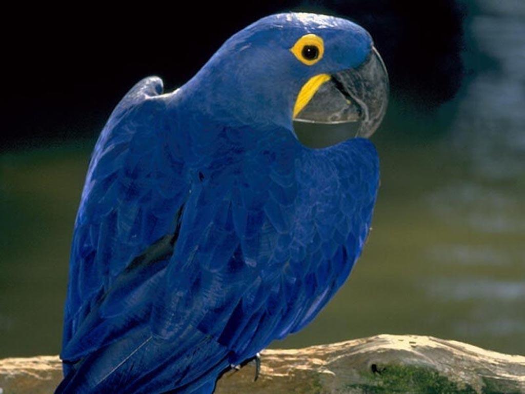 loro azul | azules y purpuras | Pinterest | Loros, Azul y Pájaro