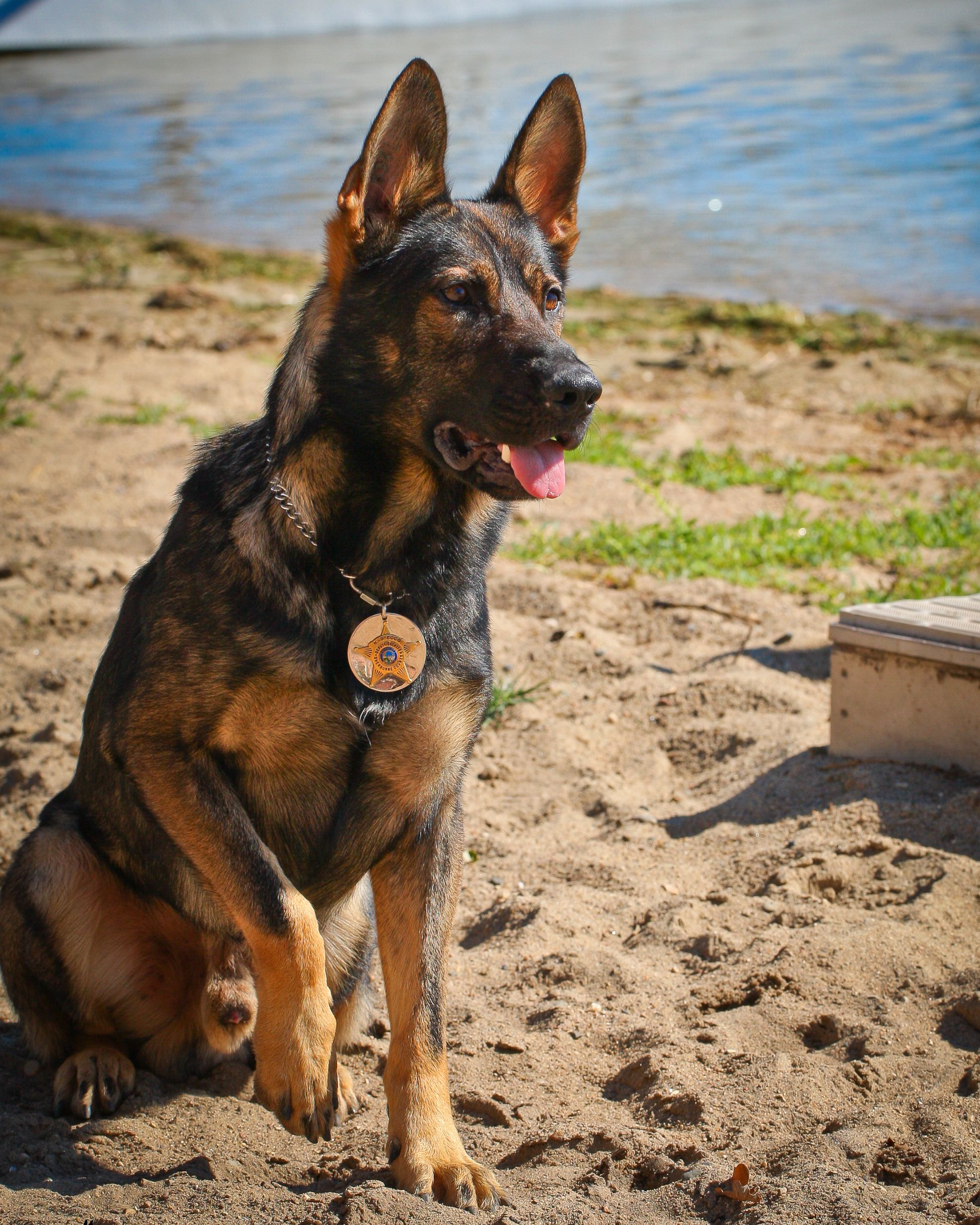 Ecco Is A German Shepherd K 9 With The U S Police Canine
