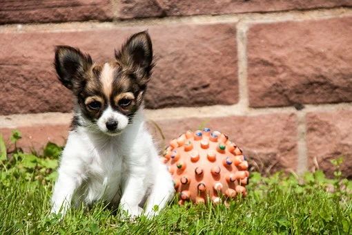Chihuahua Puppies for sale in Minnesota. Long hair, short