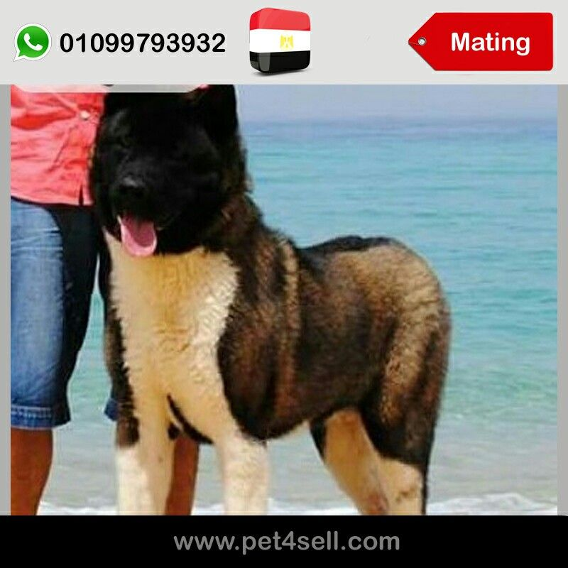 Egypt Giza For Mating Only Male American Akita Big Size Champion