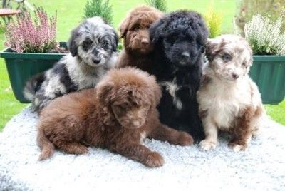 Aussiedoodle Puppies Cute Animals Cute Dogs Puppies