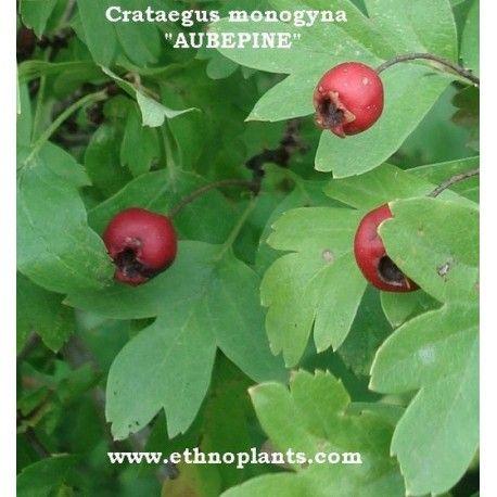 Graines d'Aubépine à planter (Crataegus monogyna) (avec images) | Planter des graines, Graine ...