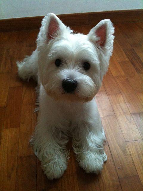 Curious Westie: my dog Mac