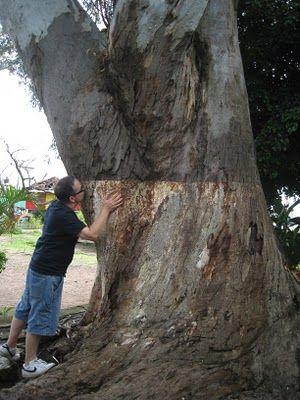 Último árbol besado en junio de 2010 desde Ajijic-Jalisco