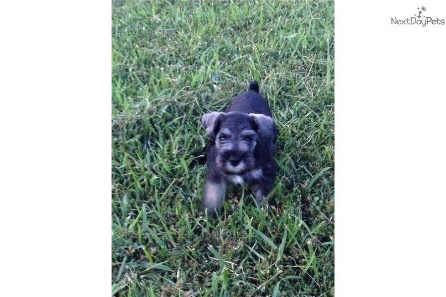 Ethyl schnauzer miniature puppy for sale near