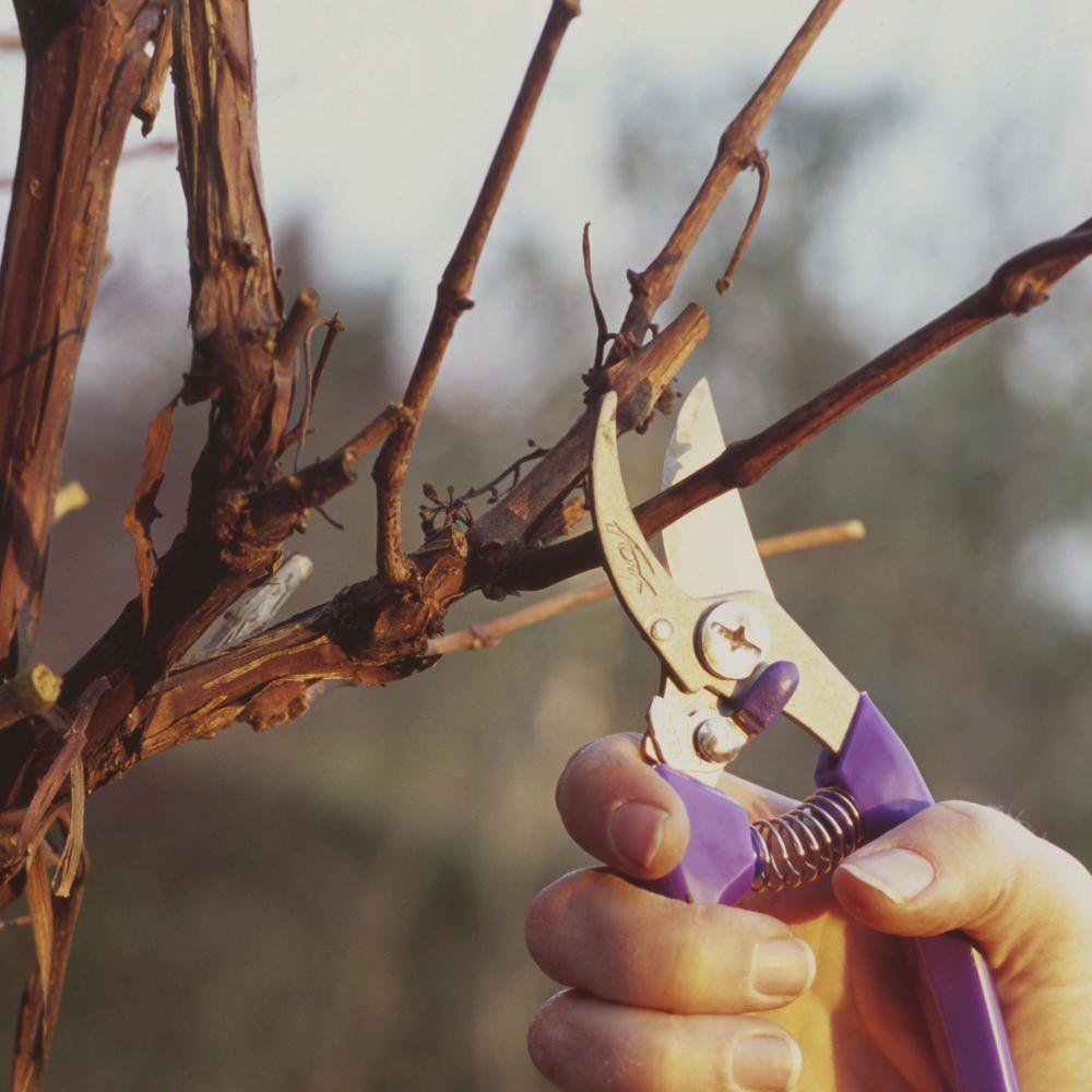 Weintrauben: 5 Tricks für große, süße Beeren #bonsaiplants