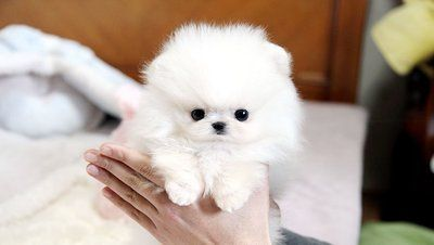 Fantastic Teacup Pomeranian Puppies Cute Puppies Images Puppy