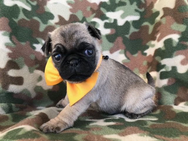 Pug Puppy For Sale In Ephrata Pa Adn 47272 On Puppyfinder Com