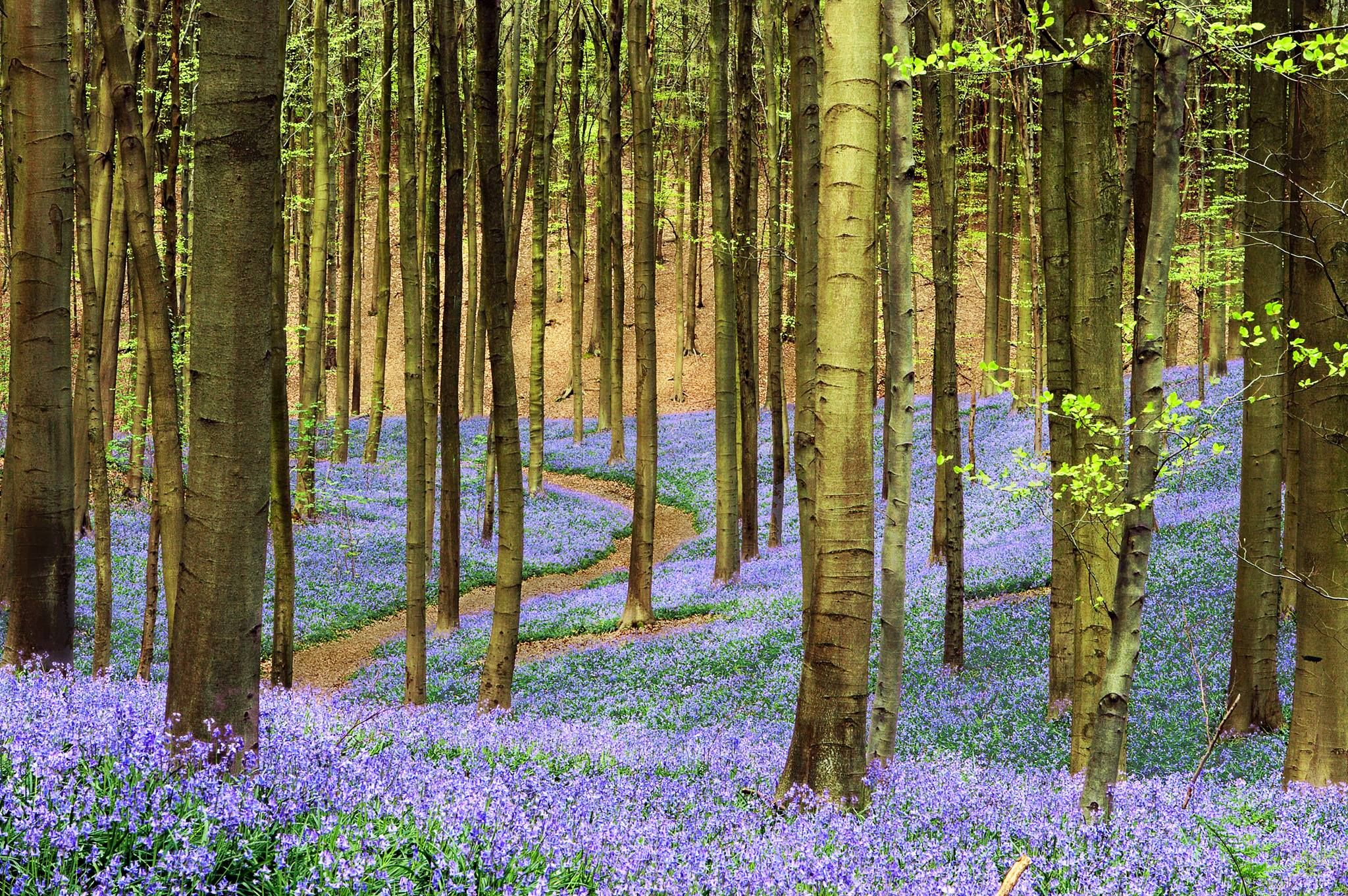 Brussels is blooming! This month don´t miss the breathtaking carpet of bluebells at the Hallerbos woods!