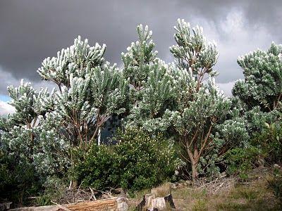 Leucadendron argentium in habitat, Vlakkenberg