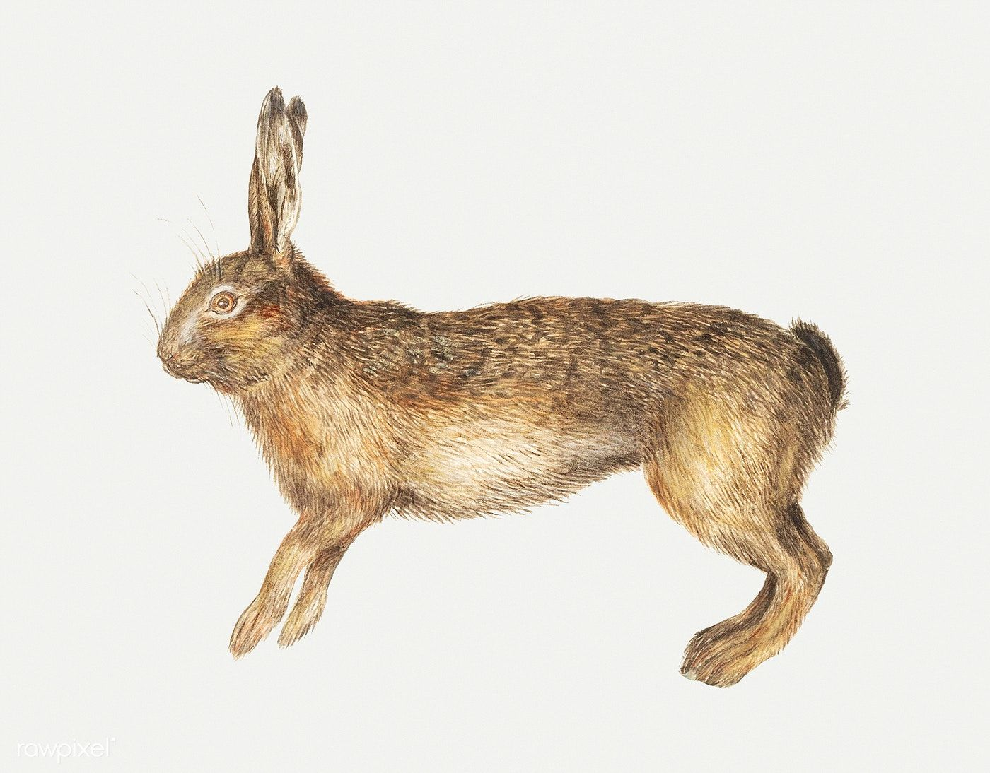 Download Premium Illustration Of Vintage Hare Illustration 561425
