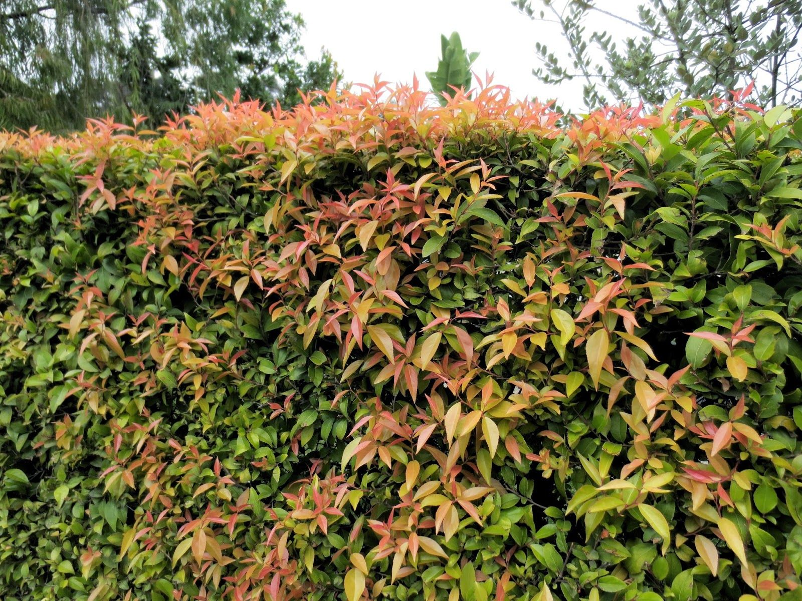 xylosma congestum is my favorite hedge material and i have a lot