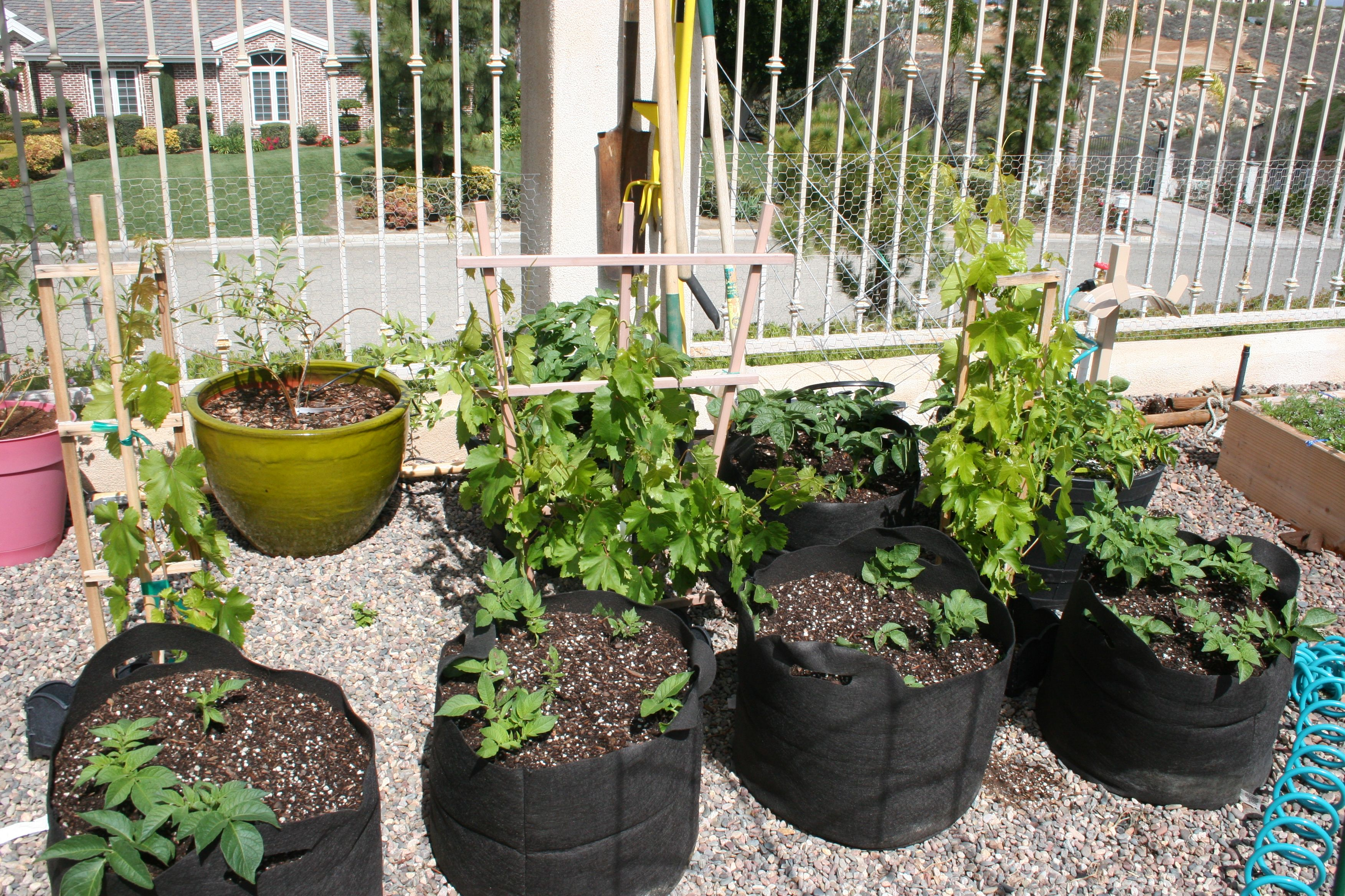 The black bags are filled with potatoes, 3 table grape vines and blueberries in the pots