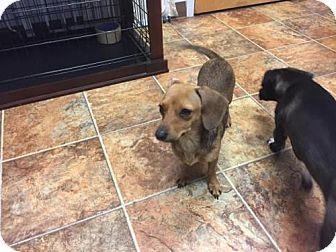 Tacoma Wa Dachshund Mix Meet Sugar A Dog For Adoption Http