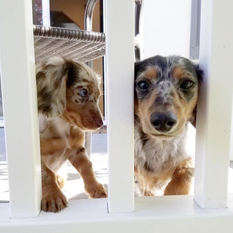 Blue Dapple Long Haired Dachshund Pups. Dog skin problem
