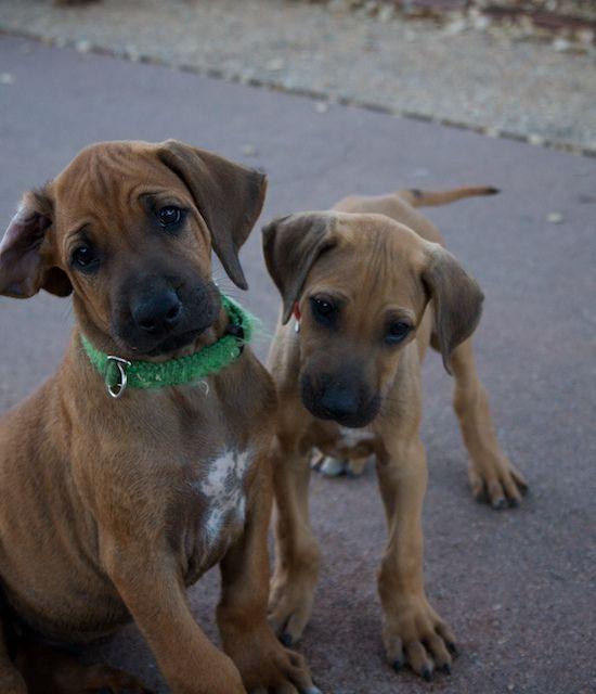 Rhodesian Ridgeback Puppies Embrace pet insurance, Dog