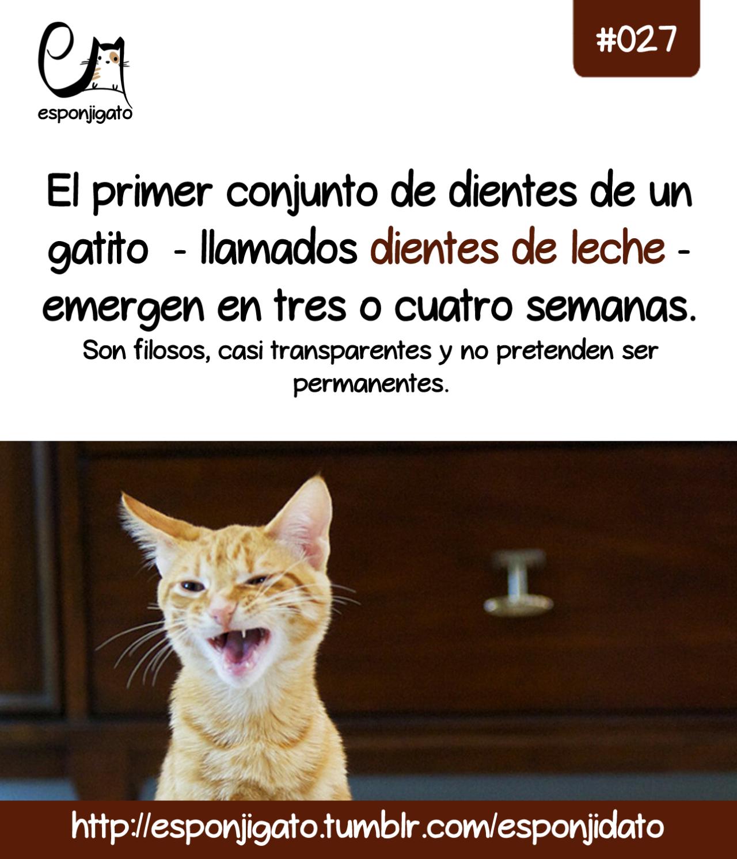 #Esponjidato: Los dientes de leche de un gatito salen en las primeras 3 o 4 semanas de vida.