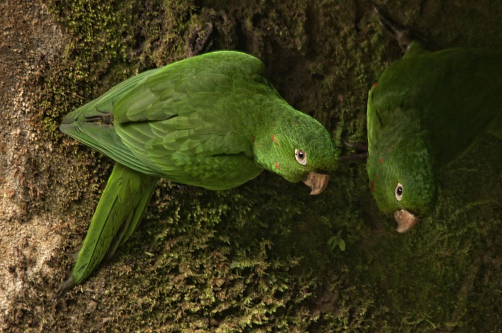 Fotografia Aratinga Ojiblanca White Eyed Parakeet De Salvador Sole Soriano Cotorros Verdes Aves De Colores Loros