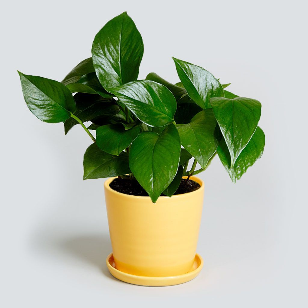 The trailing pothos or epipremnum aureum is nicknamed the 39 cubicle plant 39 because it can - Cubicle planters ...