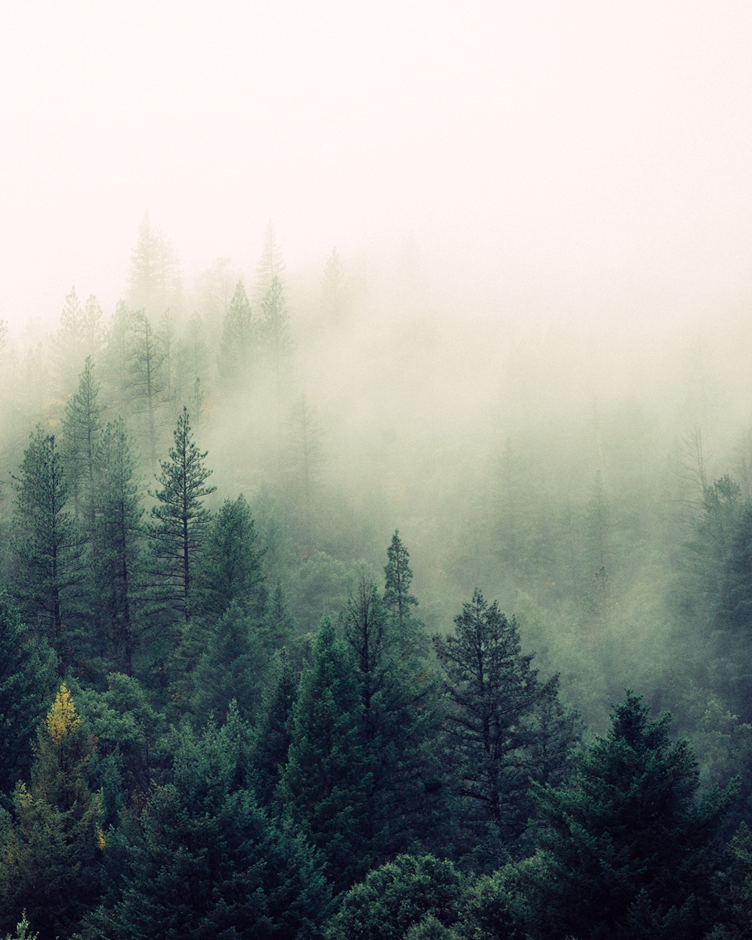 Nature Mist Fog Forest Tree Evergreen Wallpapers Nature