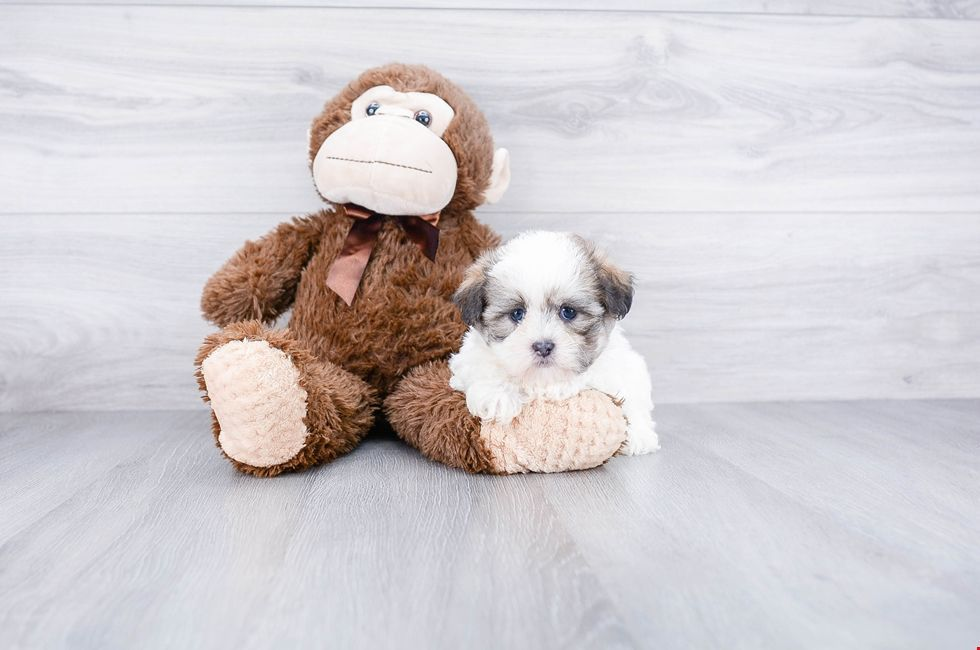 Teddy Bear Puppies For Sale Shichon Puppies Premierpups Com Forpuppyteddybears Teddy Bear Puppies Puppies For Sale Teddy Bears For Sale