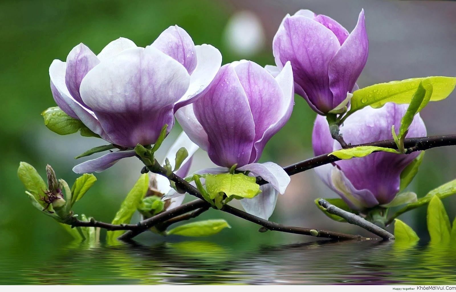 Hoa Mộc Lan - Mangolia