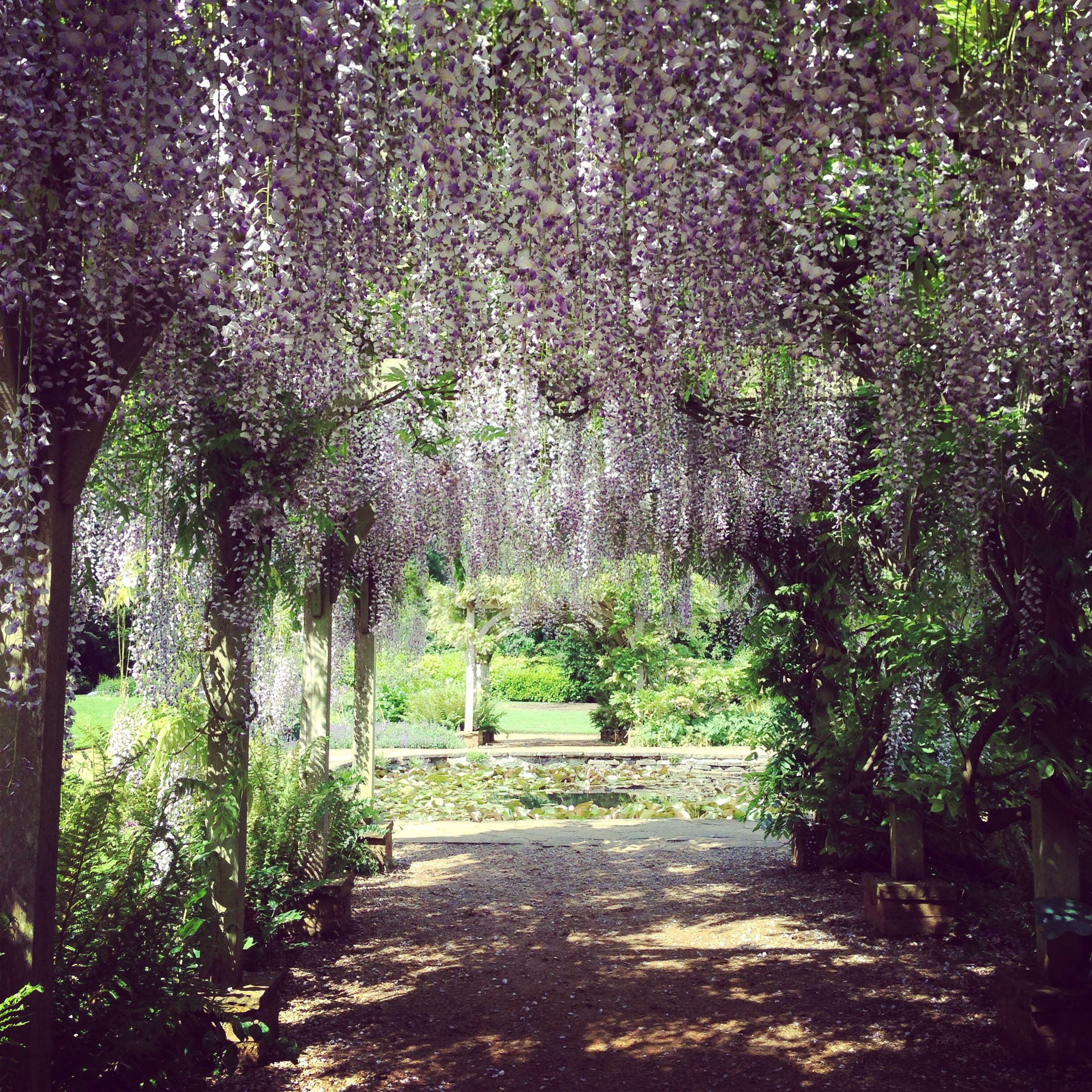 Wisteria at Hylands Park
