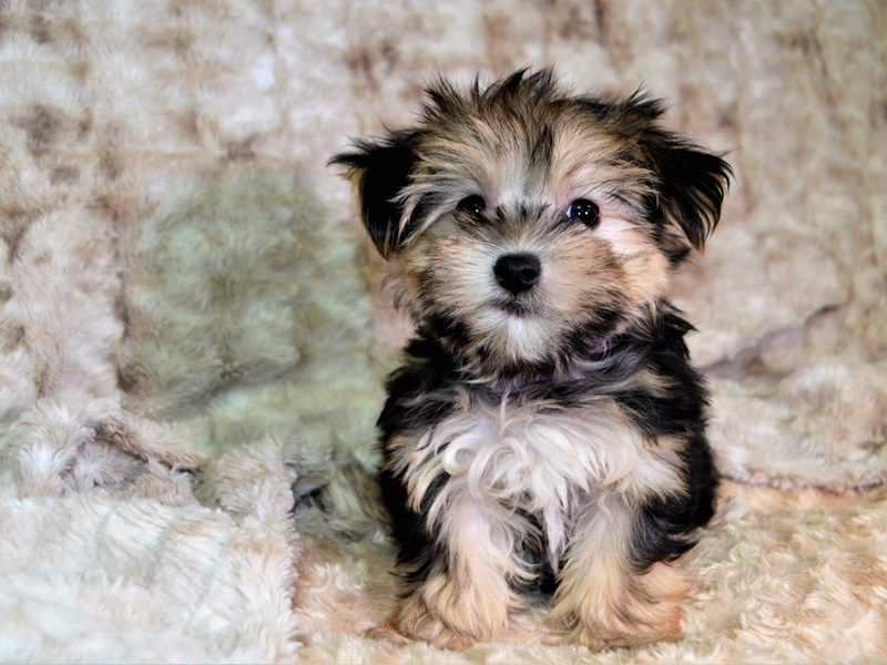 Morkie Morkie Puppies Hybrid Dogs Biewer Yorkie