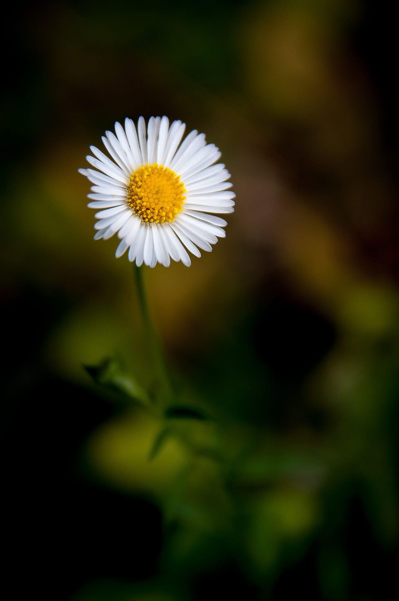 Macro Shot Of This Simple Yet Beautiful Flower Rumianki