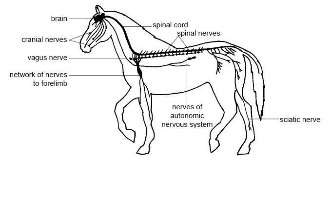 Pin by halcyon emma on ab3 pinterest nervous system and animal discover ideas about nervous system ccuart Choice Image