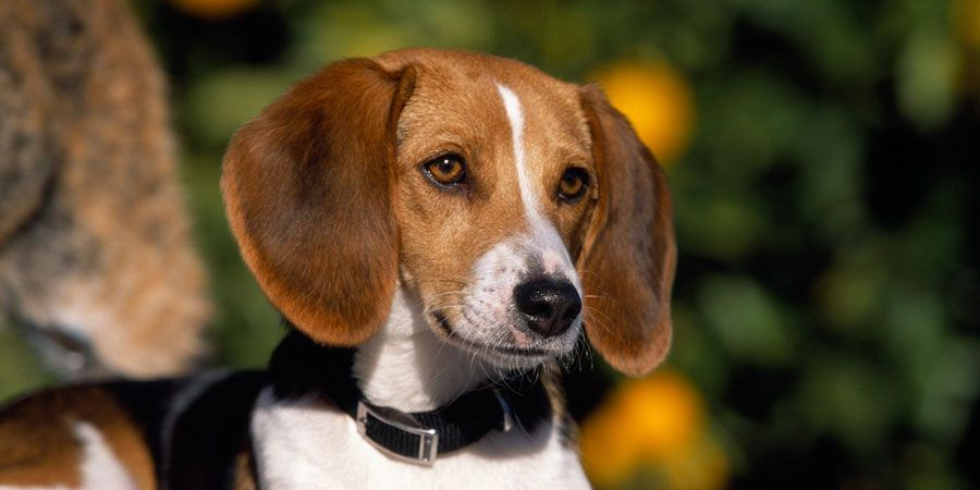 American Foxhound Price Temperament Life Span Foxhound Dog