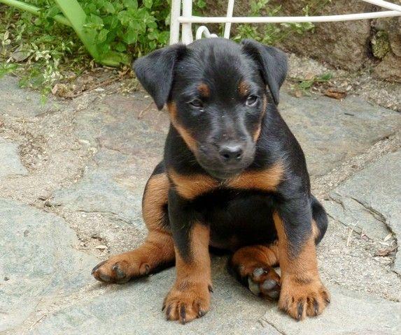 German Hunting Terrier Jagdterrier Dog Breeds Dog Person Dog Names
