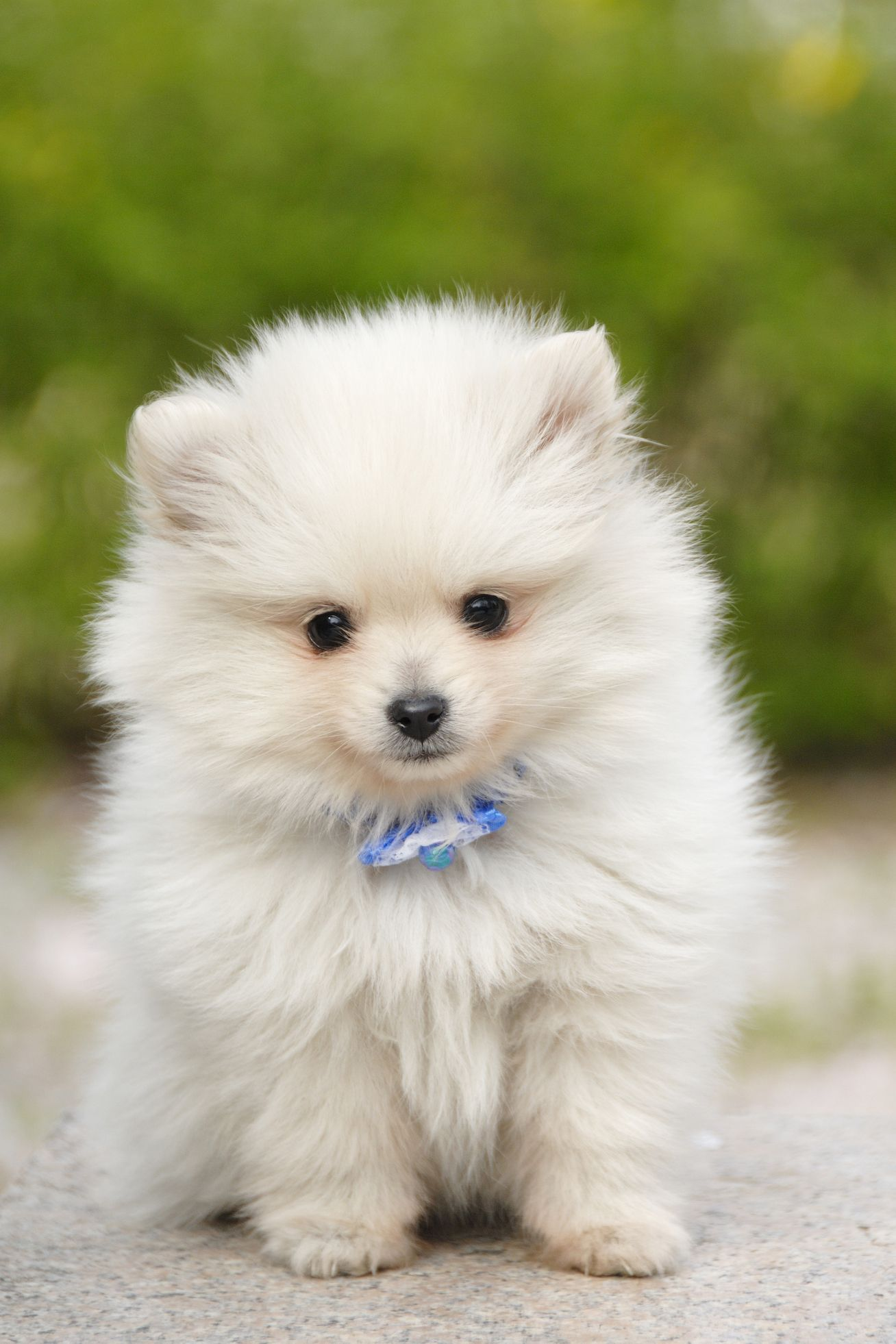 14 Small White Dog Breeds To Add To Your Family Asap Dog Breeds