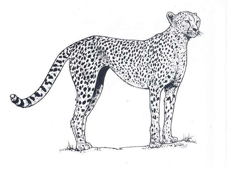 Coloriage Hugo Lescargot Guepard.Coloriage De Guepard Animaux A Colorier Page 2 Animaux