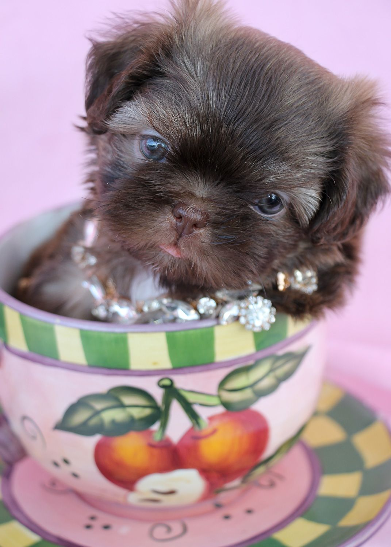 Shih Tzu Puppy by TeaCups, Puppies & Boutique Shih tzu