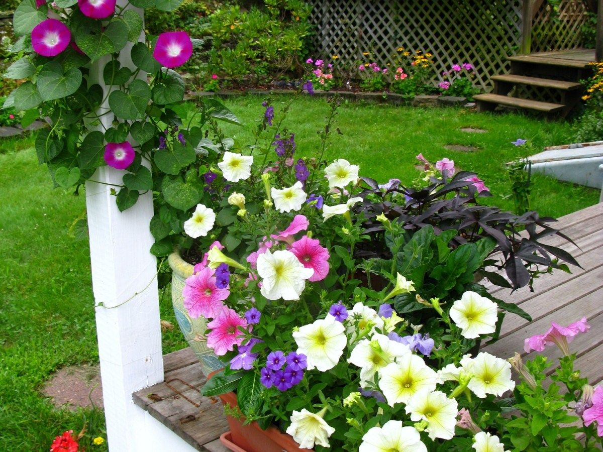 Guide To Growing Morning Glories Gardening Tips Dressed To The Wines In 2020 Morning Glory Flowers Flowering Vines Morning Glory