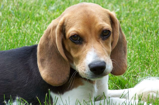 A Chocolate Beagle Puppy Beagle Puppy Puppies Beagle Dog Breed