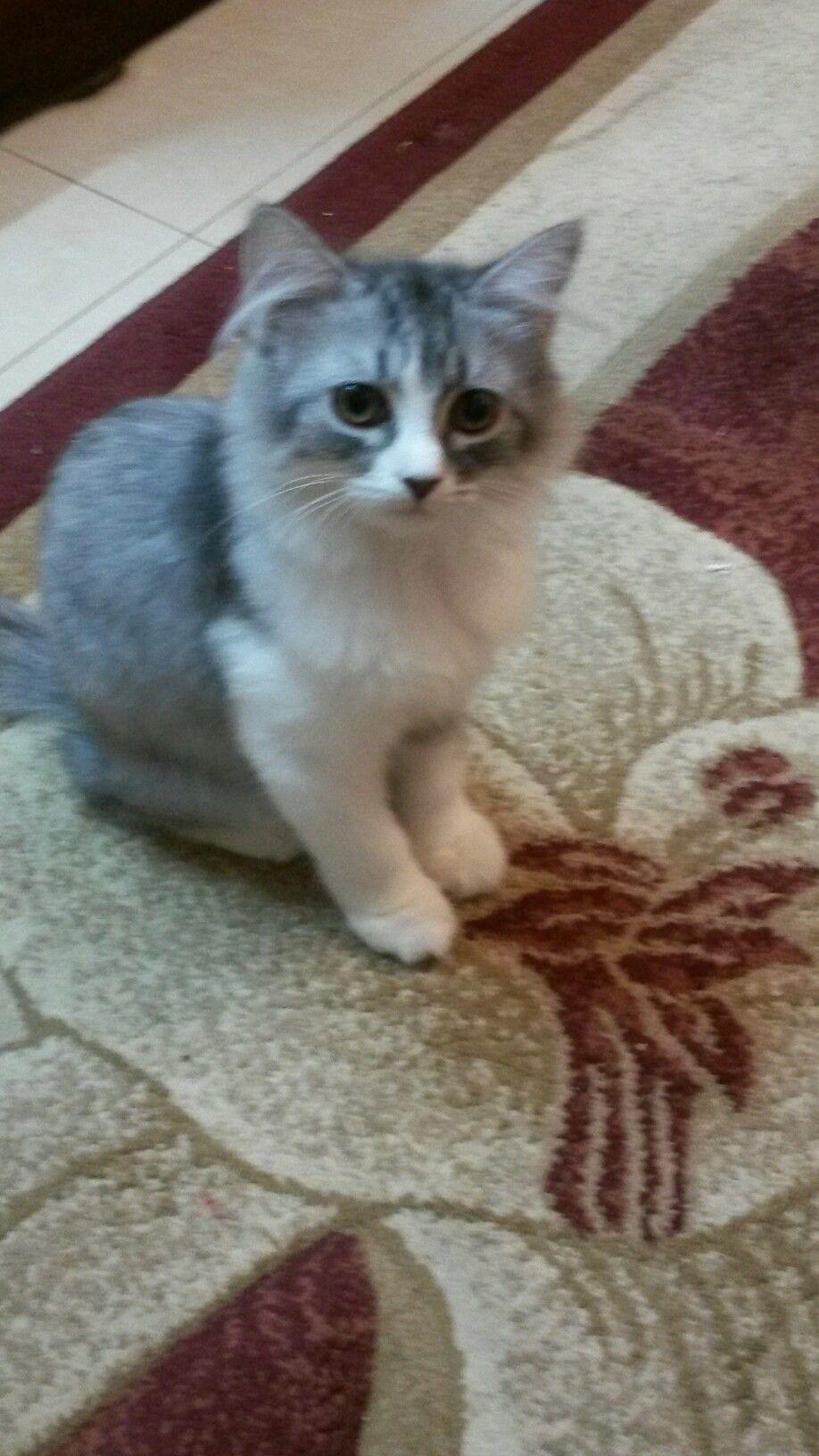 قطه شيرازيه العمر 5شهور للبيع 0553643170 Beautiful Cats Cats Animals