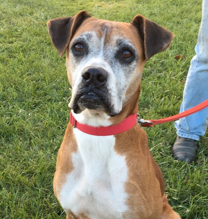 Boxer dog for Adoption in Potomac, MD. ADN724677 on