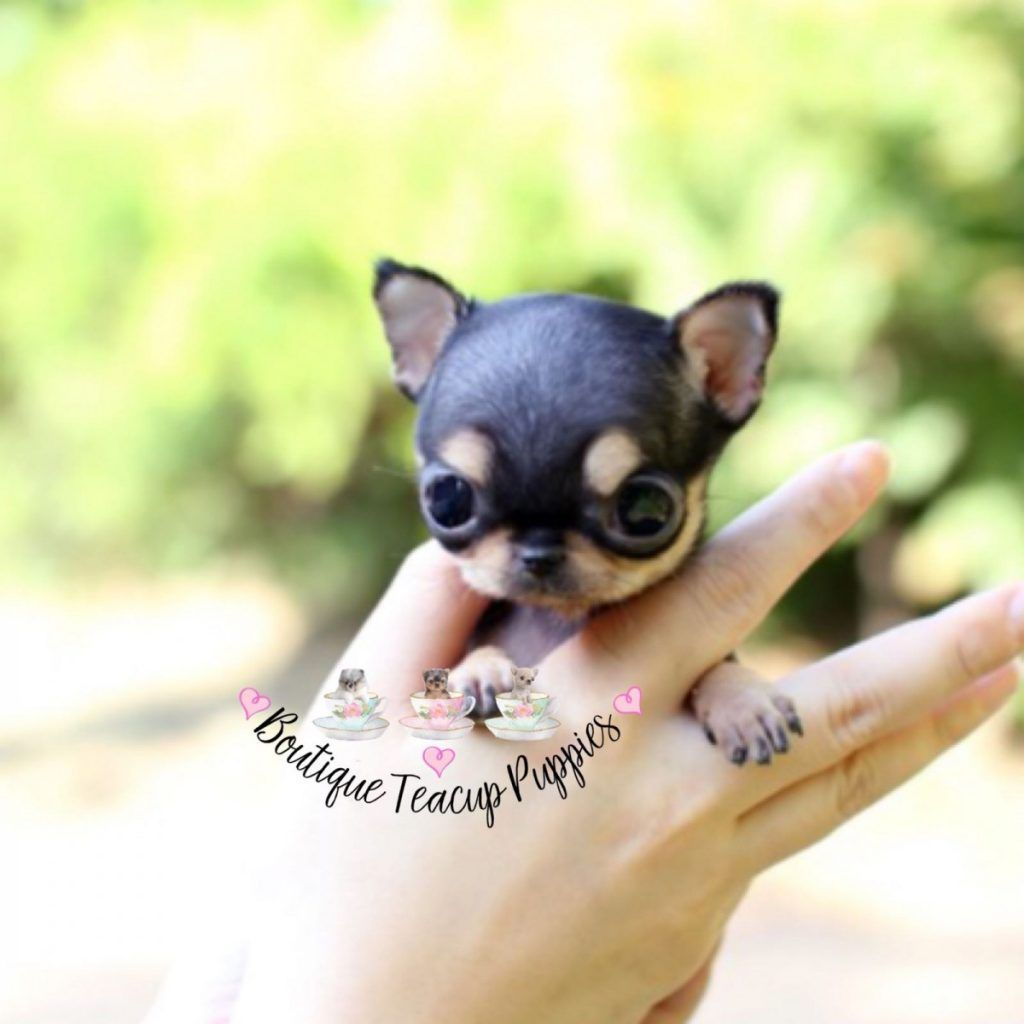 Chihuahua Boutique Teacup Puppie Chihuahua Boutique Teacup