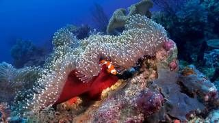 """""""Anemonefish: Nature's Aquarium"""" DVD ~ ocean scenes and relaxation music for your TV"""