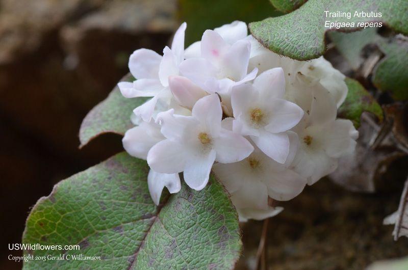 Arbutus - Epigaea repens: Trailing Arbutus, Ground Laurel ...