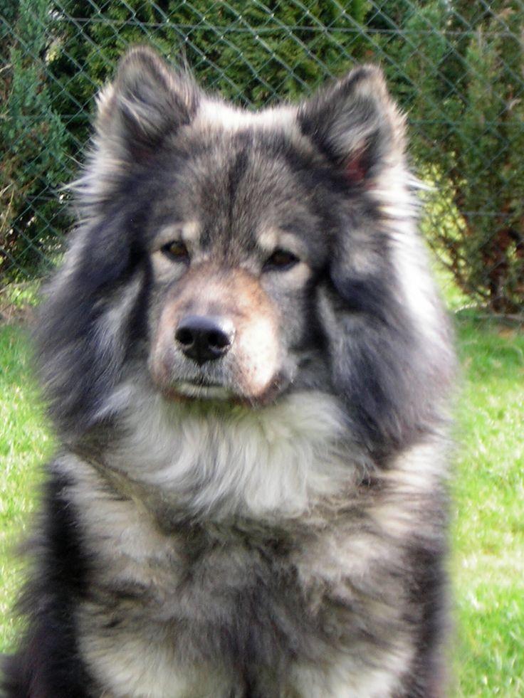 Zimo Eurasier Dog Schweiz Eurasier, Eurasier hund, Kosenamen