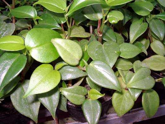 Peperomia scandens | Houseplants | Plant leaves, Plants