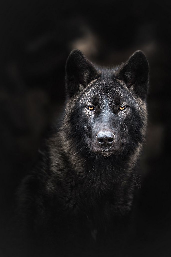 Wolf Head Wall Mount // Black with Blue Eyes   Black with ...  Solid Black Wolf