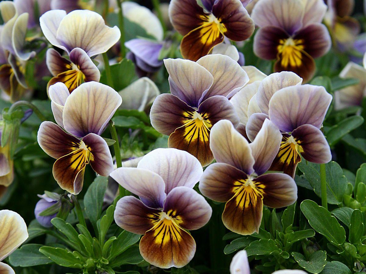 Pretty Pansy Varieties Bonsai Flower Viola Flower Pansies