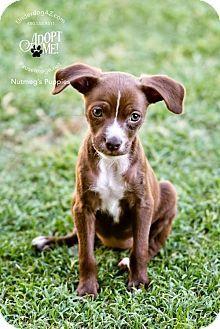 Chandler Az Italian Greyhound Corgi Mix Meet Sienna A Puppy For Adoption Puppy Adoption Corgi Mix Kitten Adoption