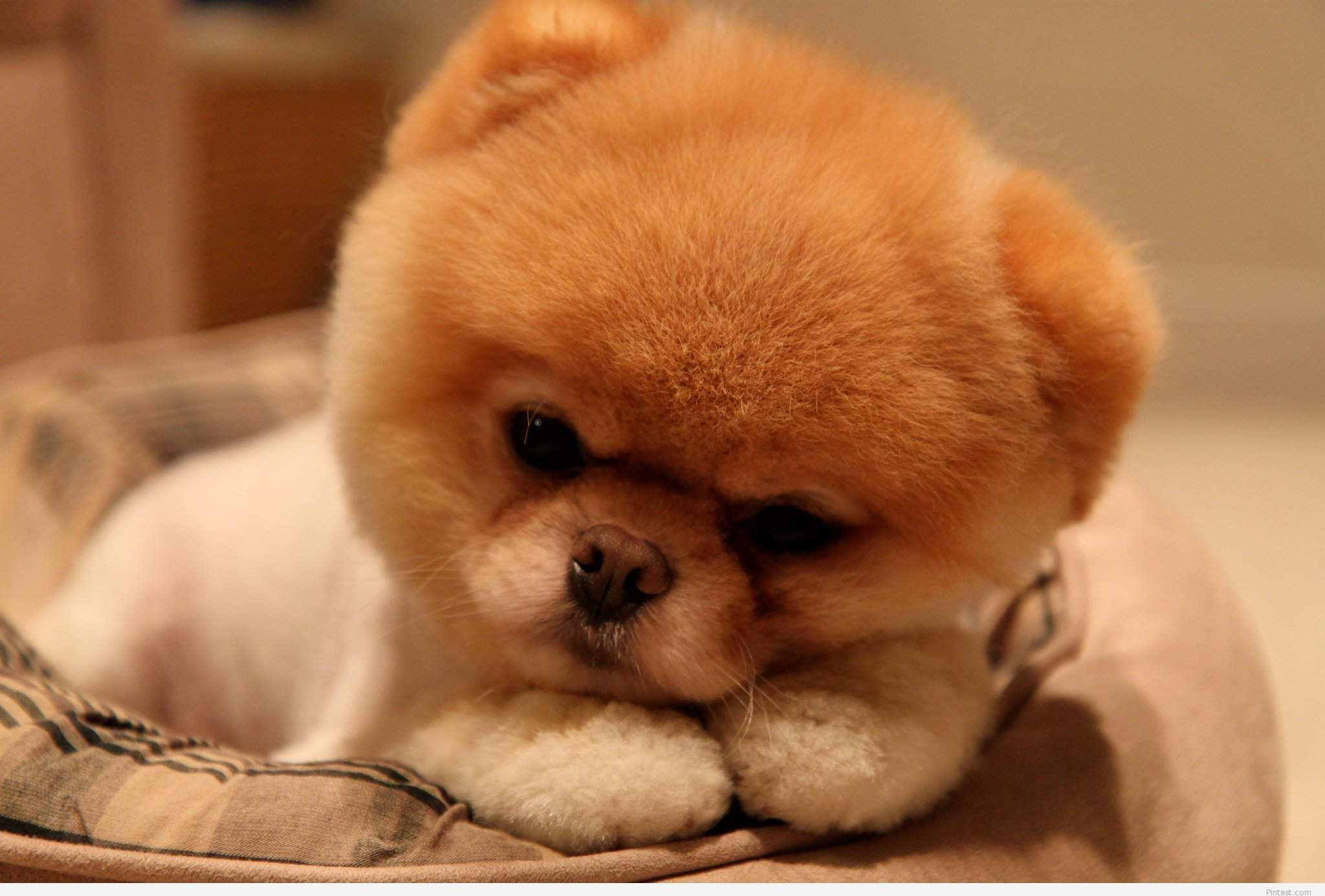 Pin By Cool Wallpapers On Cute Animals Boo The Dog Cute Baby Dogs Baby Dogs