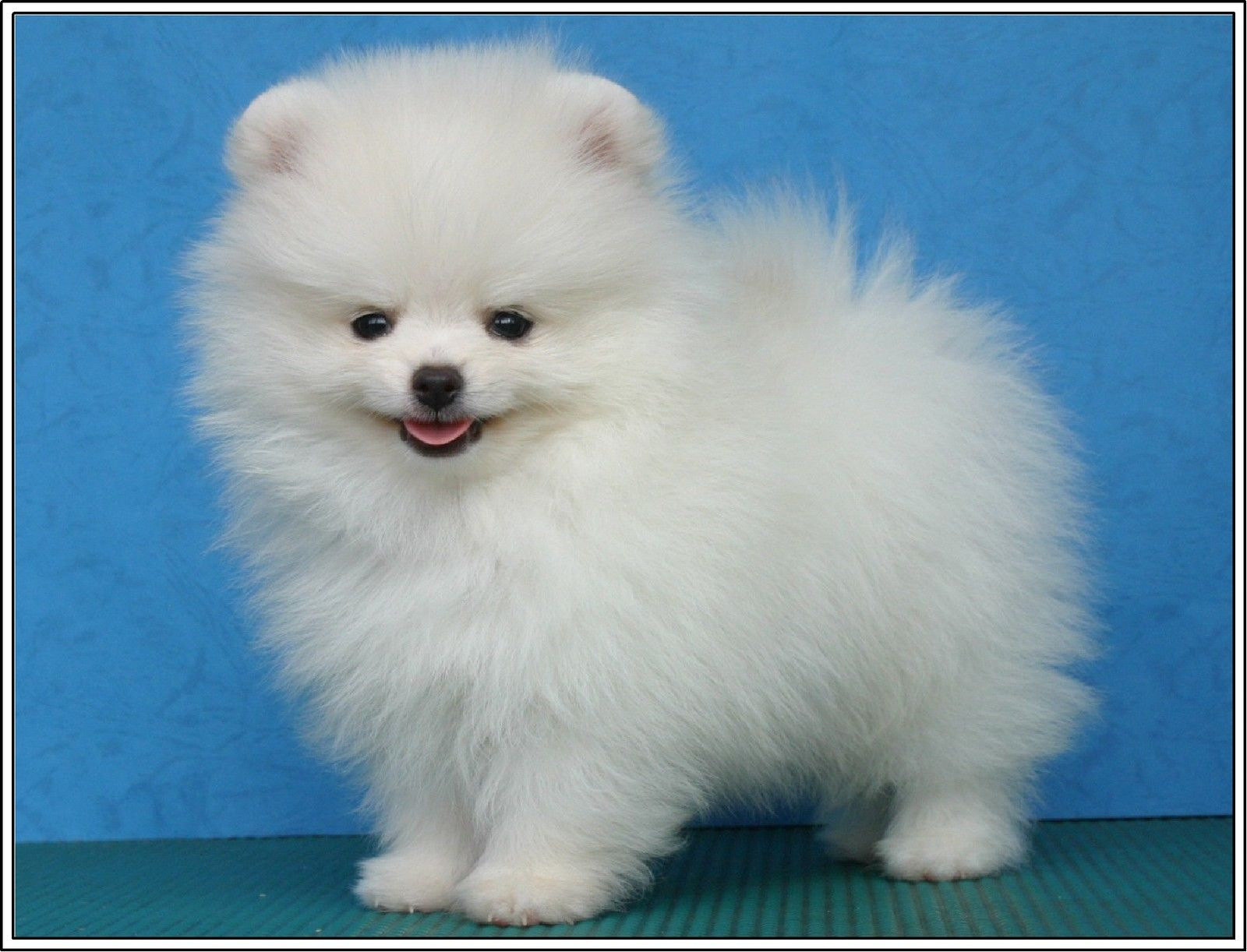 639 4pack dogs pomeranian dog puppies puppy greeting stationery 639 4pack dogs pomeranian dog puppies puppy greeting stationery notecards envelopes ebay collectibles thecheapjerseys Image collections